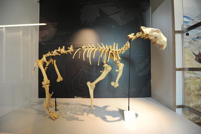 Slovenské múzeum ochrany prírody a jaskyniarstva - kostra jaskynného leva