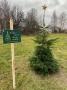 Zber živých vianočných stromčekov po sviatkoch