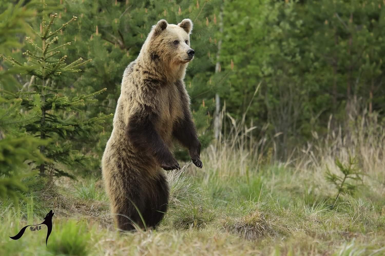 Pozor na medveďa a zver, hlavne v čase stmievania a brieždenia!